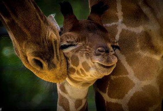 Mama giraffe with her baby