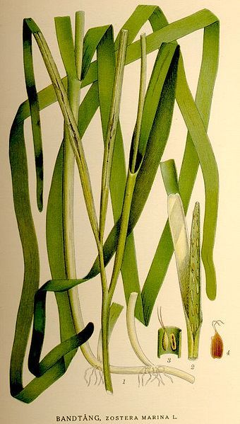 Common Eelgrass or Seawrack (Zostera marina), is the most wide-ranging flowering marine plant in the Northern Hemisphere. It provides shelter & food for many marine animals, including Pacific herring, Atlantic Cod, & Blue Mussels. Illustration by C. A. M. Lindman from Bilder ur Nordens Flora.