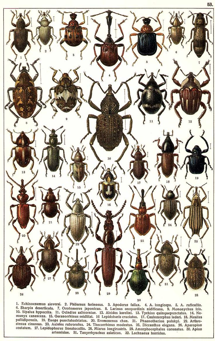 """G.G. Yakobson (1905-1915) - """"Beetles of Russia"""": table 53"""