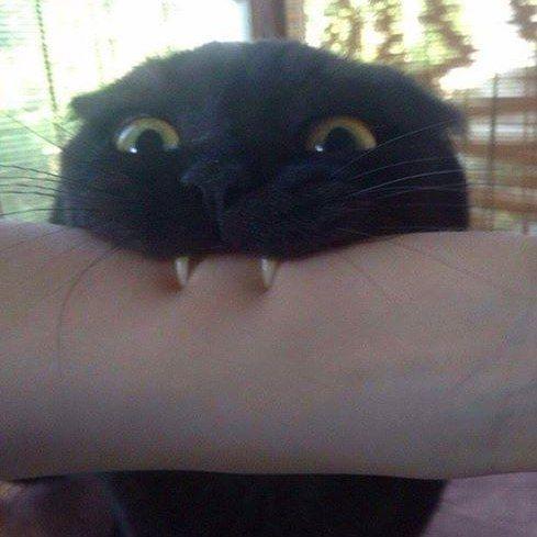 Vampire cat.  Follow us on: - https://goo.gl/NKk858 - Twitter: https://goo.gl/PlLXiR - Pinterest:https://goo.gl/9NIzFX - Facebook:https://goo.gl/Y7XnNU  #instacat #russianminiatures #pets #petsagram #cat #cats #catsofinsta #catsofinstagram #catstagram #cutecat #catoftheday #lovecats #kitty #bengal #cats_of_instagram #dailycat #bestmeow #kitten #kittensofinstagram #meow #catsareawesome #loveofmylife #lovekittens #kittenlove #lazycat #котик #kittycat