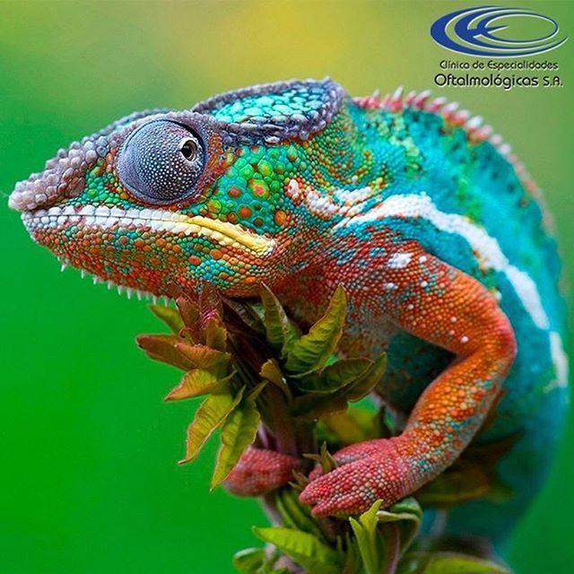 ¿#SabíasQue los camaleones pueden mirar en distintas direcciones a la vez? #CuriosidadesCEO  www.ceomedellin.com Foto vía https://goo.gl/qBLmQ1