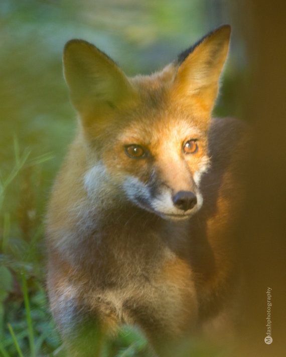 mdash photography red fox wildlife photography photographic