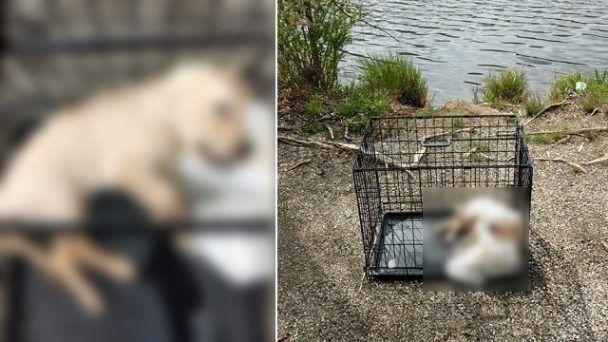 Sign Justice Pour Le Chiot Trouve Submerge Dans L Etang A L Interieur De La Cage Lestee Old Golden Retriever Puppies Retriever Puppy