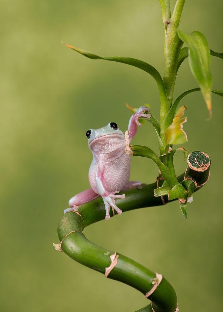 WhitesTree Frog by Robert Hook