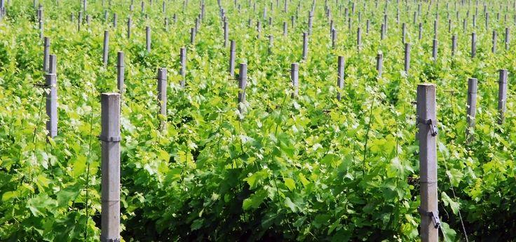 LaMarca Prosecco Price, Taste & Grape Growing Review in Veneto Italy