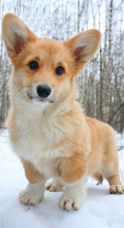 Pembroke Welsh Corgi Dog