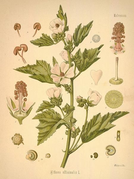 Althaea (marshmallow) root: Herbalists recommend marshmallow root tea as a remedy for #sorethroats. It is usually made by adding one tablespoon of the dried root to a cup (8 ounces) of boiling water and steeping it, covered, for 30 to 90 minutes before straining. Herbalists usually suggest up to three cups a day for a sore throat. #naturalremedies Image: http://botanical.com/botanical/mgmh/m/mallow07-l.jpg