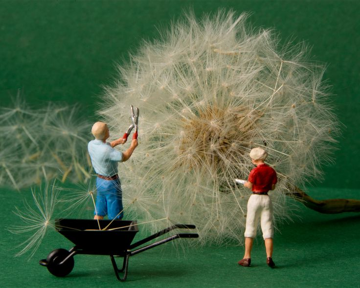 https://flic.kr/p/rEgDm9   Trimming the Lion's tooth   Little people, big world The common name of Taraxacum is Dandelion, from the French 'Dent-de-lion' (Lion's tooth).