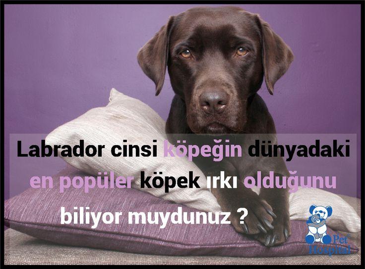 Labradorlar en çok tercih edilen  köpek ırkıdır. #Labrador #Köpek #Köpeksever #PetHospital