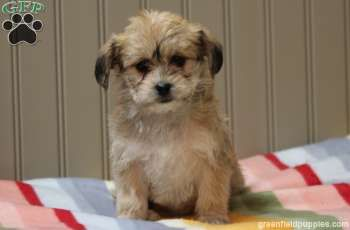Helena the Yorkie-chon puppy! (for sale)