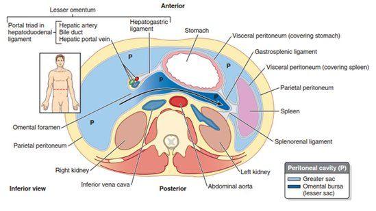 Peritoneal spaces anatomy