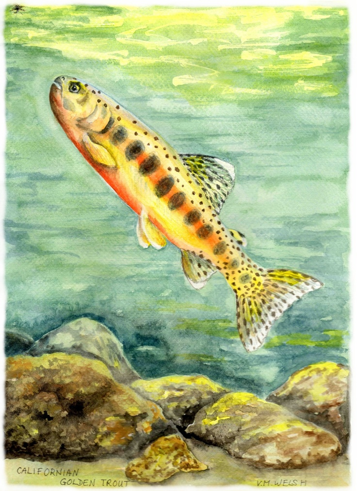 8 best Trout in the Classroom images on Pinterest | Trout, Brown ...