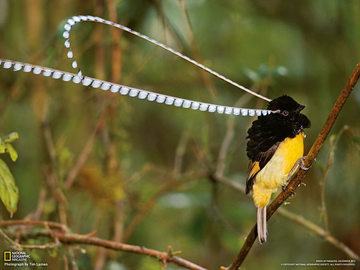 Here's The King of Saxony Bird of Paradise (Pteridophora alberti) and It's Funkalicious 'Eyebrows',