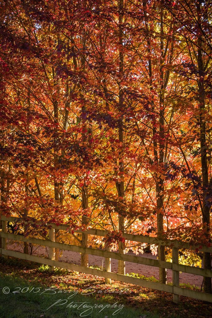 Autumn colours near our home.