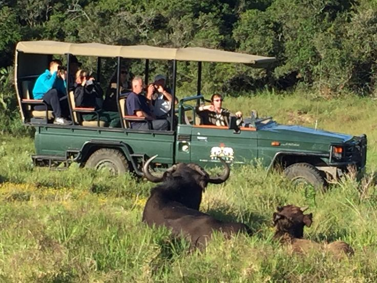 Sibuya Game Reserve Buffalo mother and calf on the game drive #Big5 Kenton on Sea, Eastern Cape, South Africa