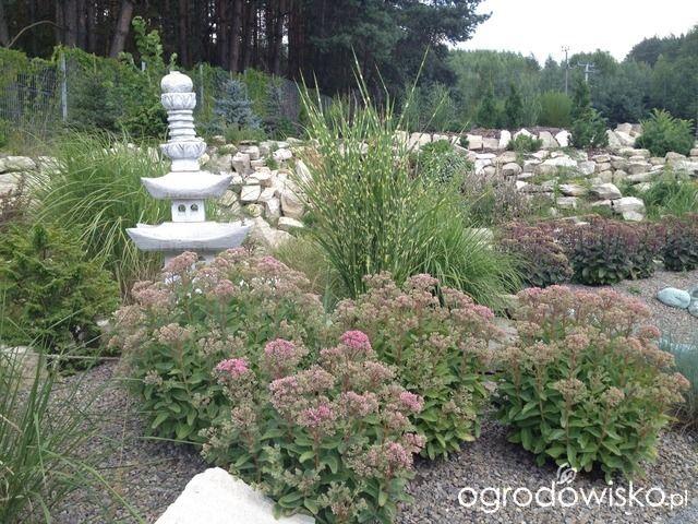 Rozchodnik okazały - Sedum spectabile - strona 6 - Forum ogrodnicze - Ogrodowisko