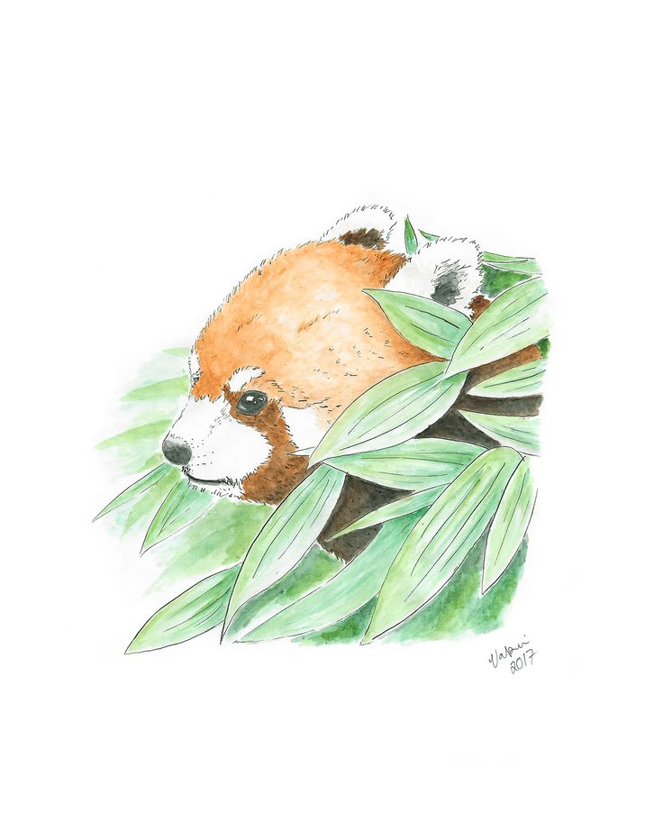 Red panda aquarelle. Tools used Winsor & Newton watercolors and Staedtler pigment liners