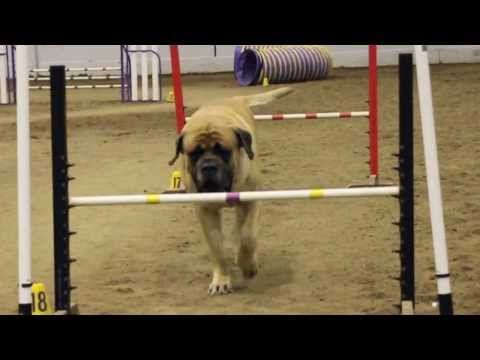 Massive Mastiff Takes His Sweet Time With This Agility Course - BarkPost