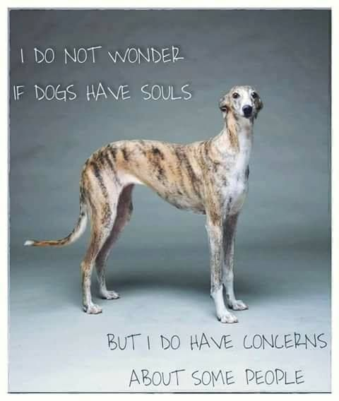 Greyhound Shipping Quote >> Read The Quote Greyhounds And Whippets Dogs Italian Greyhound