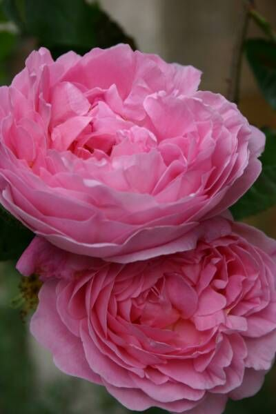 17 best images about pink tones on pinterest flower. Black Bedroom Furniture Sets. Home Design Ideas