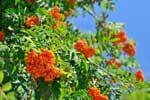 """Eberesche - Das keltische Baumhoroskop 01.04.-10.04. & 04.10.-13.10. Die Eberesche, auch """"Vogelbeerbaum"""" genannte kleine bis mittelgroße Baum, fällt durch seine gefiederten Blätter und seine orange roten Beeren auf."""