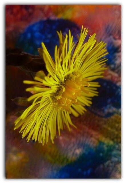 Fleur de Taconnet..