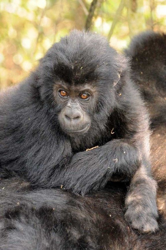 World's Largest Gorillas Are at Risk