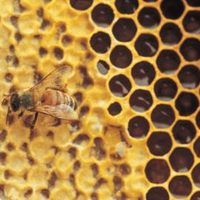 Honey bees can produce lots of honey, and selling honey can be a lucrative business for people who aren't allergic to bee stings, who don't have a lot of money, and who have a little space in their backyard to farm their honey bees. If you're interested in working with insects and seeing the fruits of your labor, not only will you...