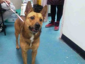 OWNER SURRENDER THE DAY BEFORE THANKSGIVING!! PERS PROBL!! POOR POOR SWEETHEART! Staten Island STAR – A1097747 FEMALE, BROWN / BLACK, GERM SHEPHERD MIX, 3 yrs OWNER SUR – EVALUATE, NO HOLD Reason PERS PROB Intake condition UNSPECIFIE Intake Date 11/23/2016, From NY 10303, DueOut Date 11/23/2016