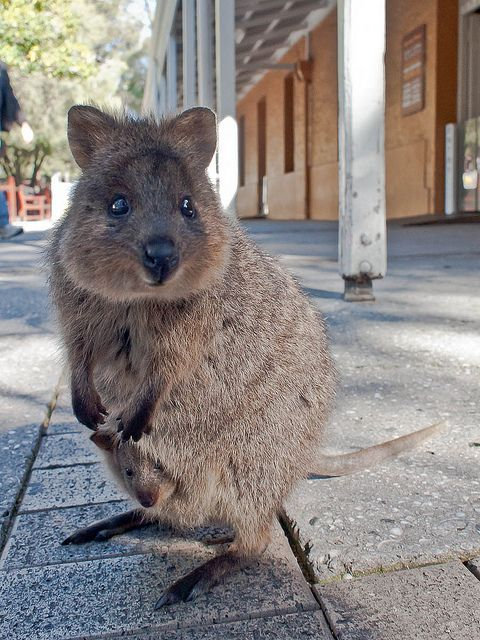 Quokka and baby in Australia. The quokka, the only member of the genus Setonix, is a small macropod about the size of a domestic cat. Like other marsupials in the macropod family (such as the kangaroos and wallabies), the quokka is herbivorous and mainly nocturnal. It can be found on some smaller islands off the coast of Western Australia,