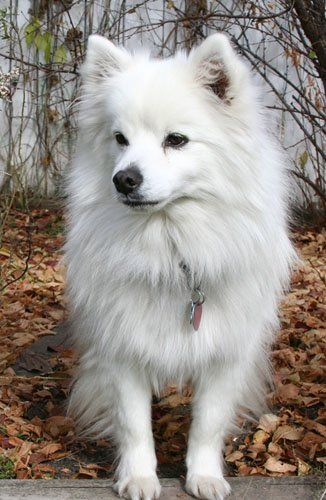 Toy American Eskimo Dog <3