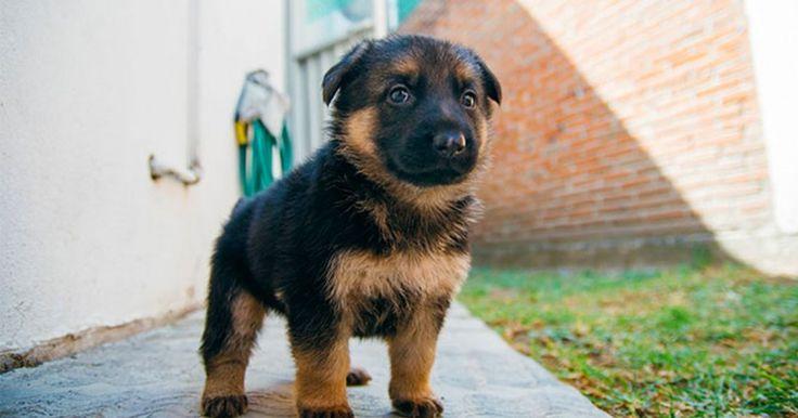 15 Αξιολάτρευτοι λόγοι που αποδεικνύουν ότι οι Γερμανικοί Ποιμενικοί είναι τα καλύτερα Σκυλιά του κόσμου. Crazynews.gr