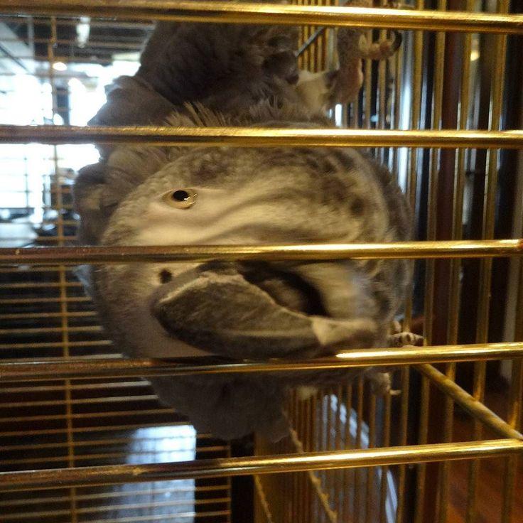 Попугай жако #bird #parrot #africangreyparrot #птица #попугай #жако by nuklearbomb http://www.australiaunwrapped.com/
