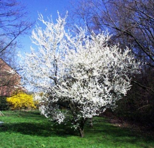 mirabelle_plum_Prunus insitia_var_syriaca