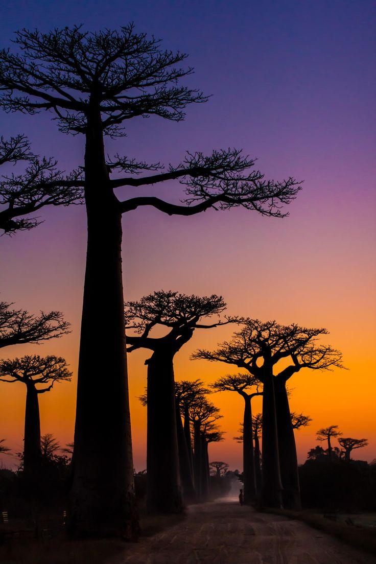 Giant Baobab, Madagascar