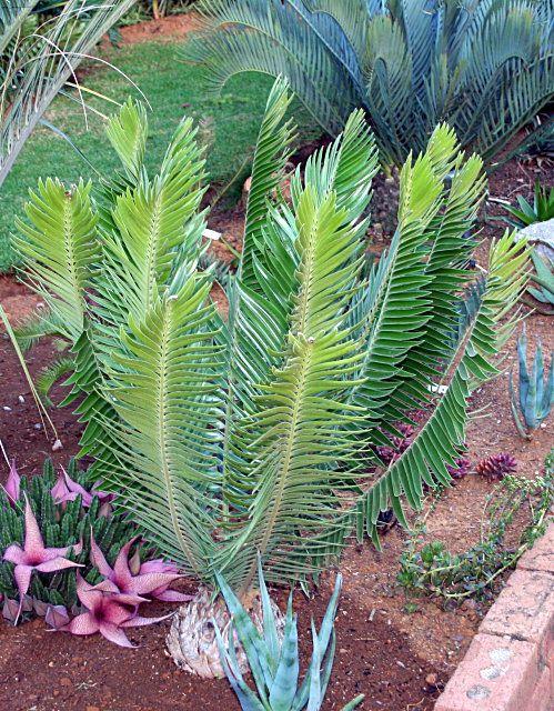 Encephalartos heenanii Woolly Cycad Wollerigebroodboom