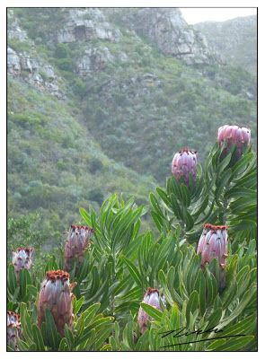 Proteas, Cape Town  http://thebaobabtelegraph.blogspot.co.nz
