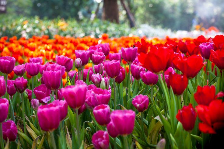 Tulips Are A Spring Flowering Favorite In The Garden. Plant The Bulbs In  The Fall. Tree GardenFlowers GardenGarden NurseryThe PlantLong IslandHicks  ...