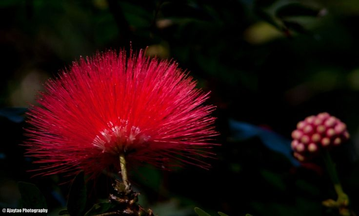 Rain Tree flower - Ajaytao