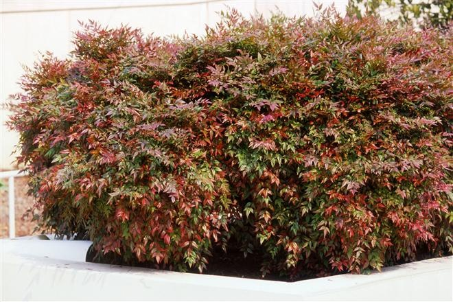nandina domestica nana purpurea dwarf heavenly bamboo high desert plants trees. Black Bedroom Furniture Sets. Home Design Ideas