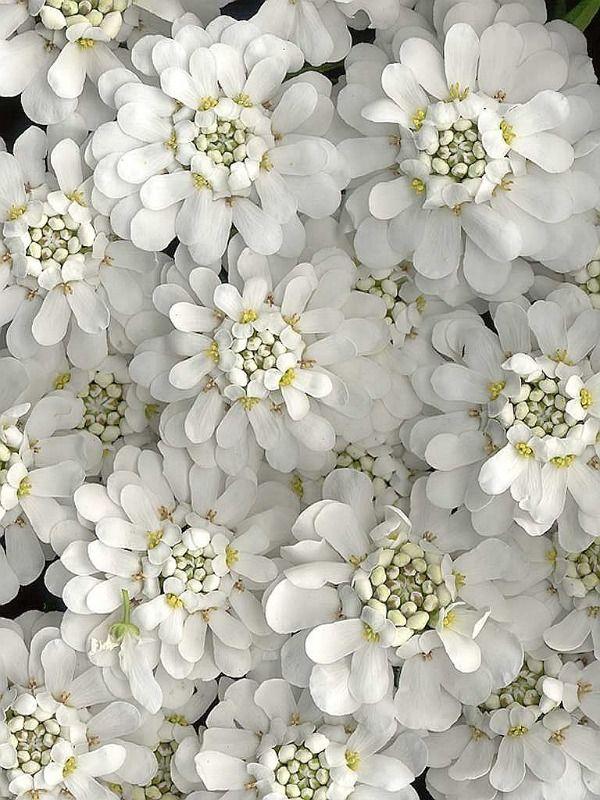 Candytuft - perennial white flower for spring. Full sun.