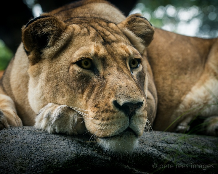 Lioness  by  Pete Rees Images