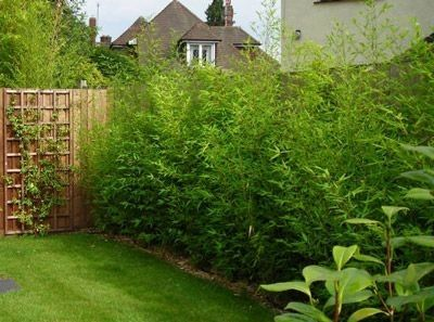 Bambu Multiplas Folhas (B. Multiplex)                                                                                                                                                                                 Mais