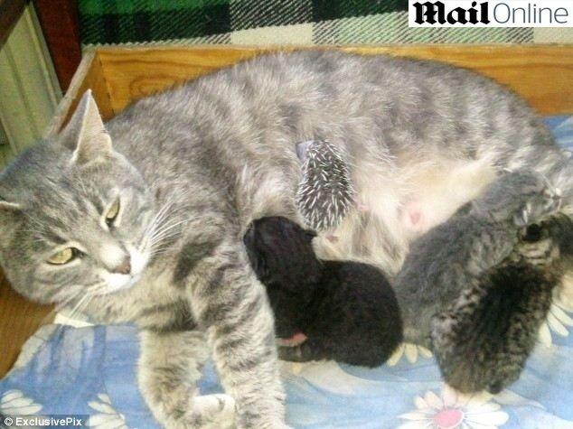 O espírito materno de uma gata russa falou mais alto, e ela adotou um filhote de porco espinho abandonado. A mãe protege e amamenta o órfão junto com sua própria cria