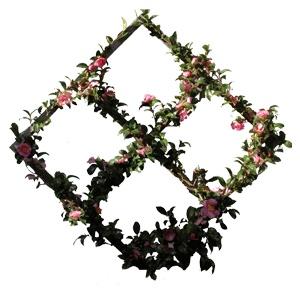Poyntons of Essendon - Espalier Camellia
