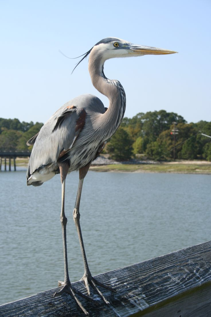 17 best images about carolina sc on pinterest mansions for Blue heron fishing