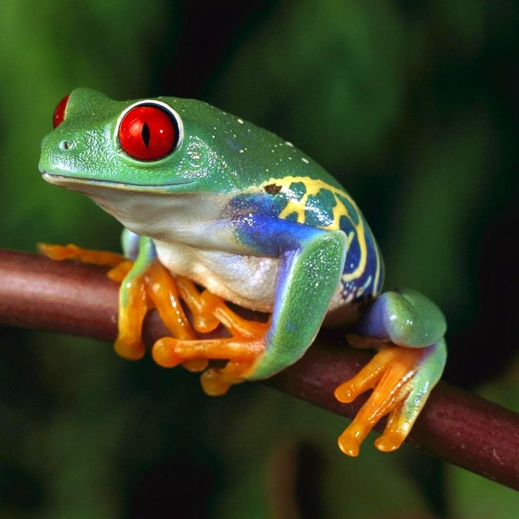 Red Eyed Tree Frog                                                                                                                                                                                 More