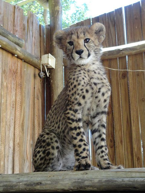 @ Cheetah Experience - Bloemfontein - South Africa by claireandcoco2010 on Flickr.