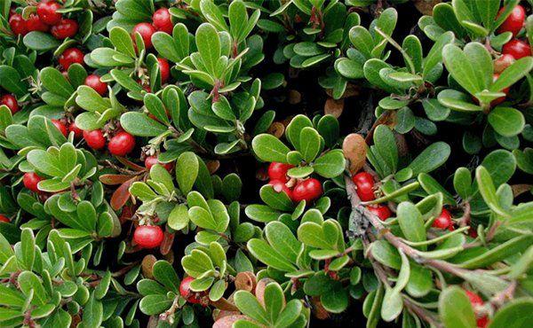 Αρκτοστάφυλο, το φάρμακο της φύσης : http://bit.ly/1ZRQih5   #vita4you #Ericaceae #protect #healthcare  #checknow