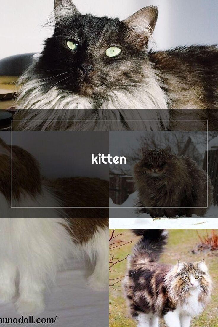 kitten in 2020 Norwegian forest cat, Norwegian forest
